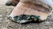 Farrier Report: Show Jumper with de-lamination.