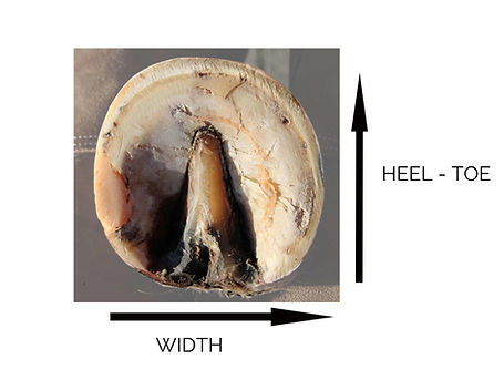 how to measure a horse hoof