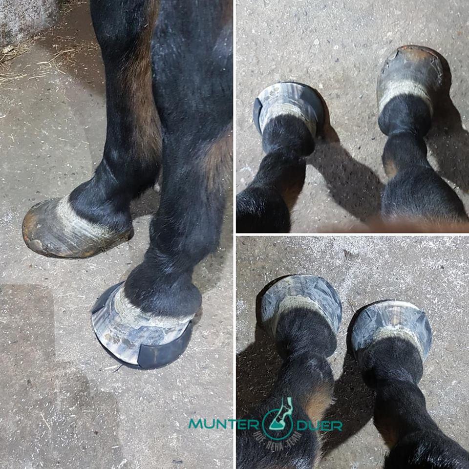 glushu glue on horse shoes help for laminitis