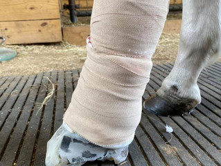 Farrier Report: Modified Glushu for incorrect suspensory growth.