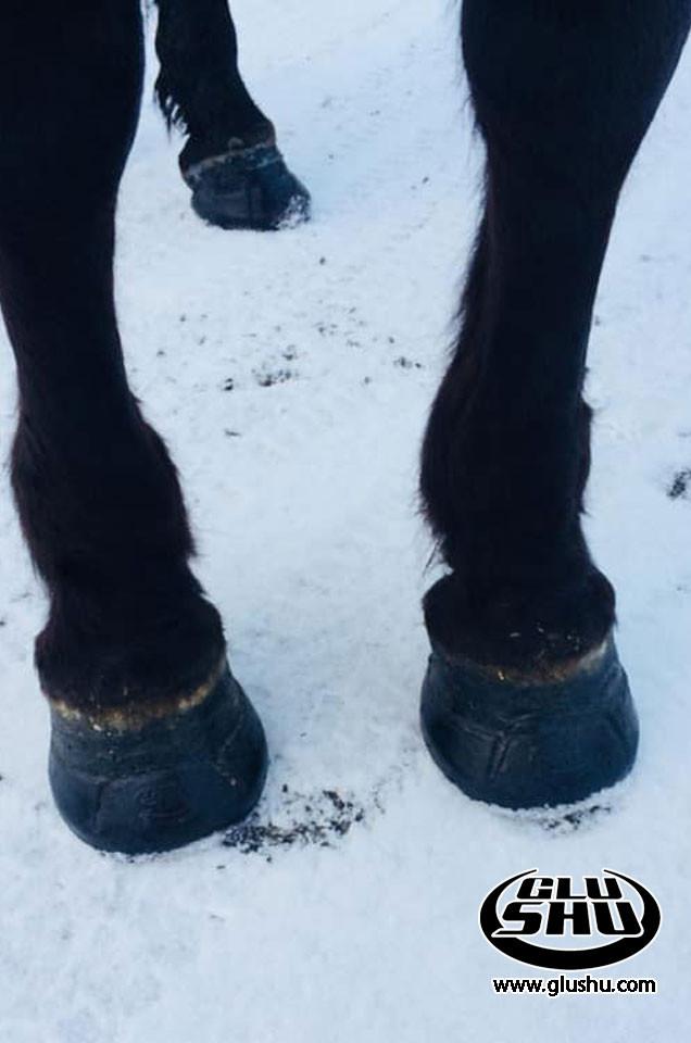 Horse with sensitive feet using glushu glue on horse shoes.