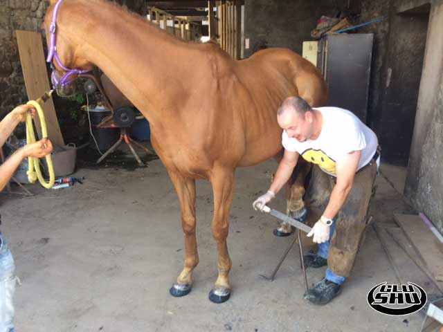Oj having his second set of Glushu glue on horse shoes fitted