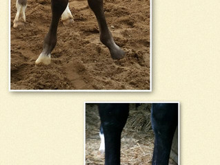 Foal with Angular Limb Deformity before and after Glushu.