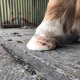 Farrier Review: Glushu for laminitis.