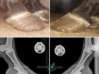 Farrier Report: Glushu for laminitis.