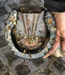 Farrier Report: Glushu for laminitis and thin soles.