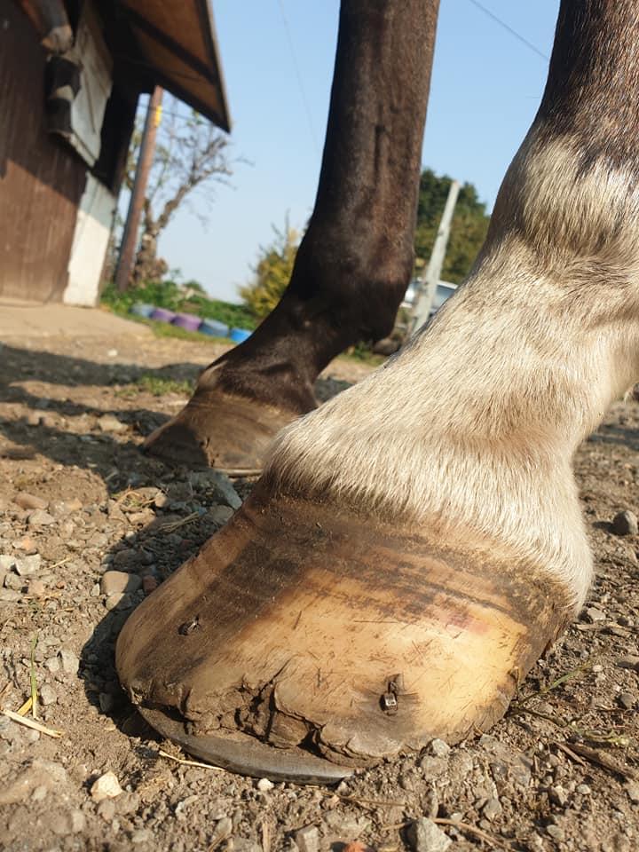 glushu polo horse 1