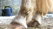 Farrier Update: Glushu for horse with laminitis and long toes.