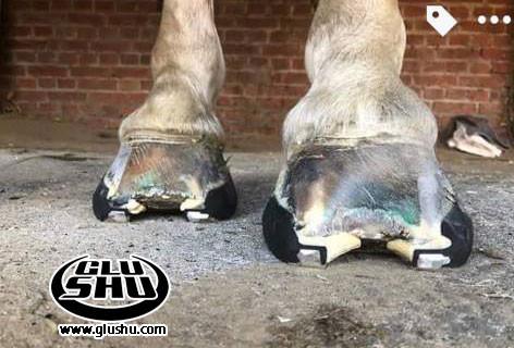 glushu glue on horse shoes for laminitis