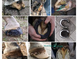 Farrier Report: Glushu for barefoot with broken hoof