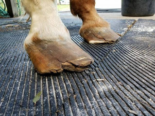 Farrier Photo Diary: Horse with whiteline.