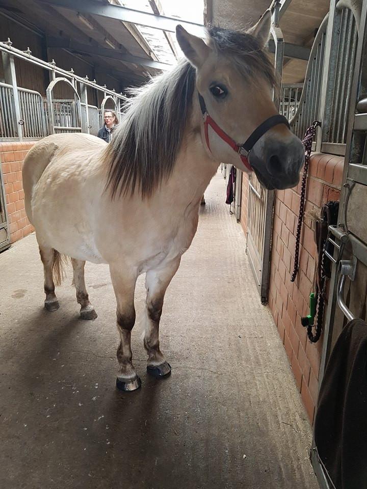 Horse wearing Glushu glue on horse shoes.