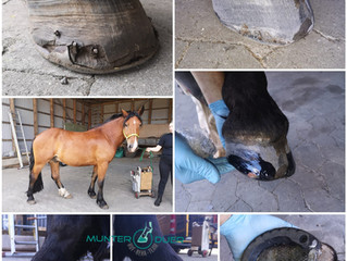 Farrier Report: Glushu for broken hoof.