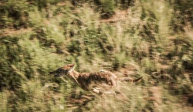 Helicopter hog hunting, predator control, and coyote depredation