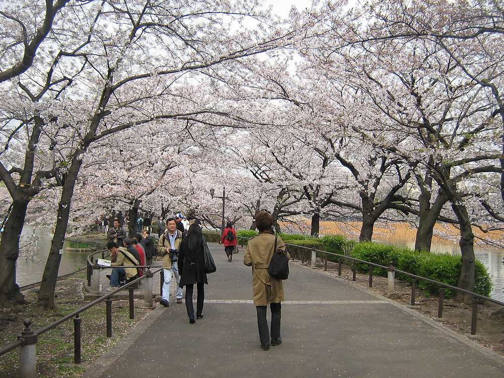 Cherry Blossoms in Tokyo - Walking Tour Tokyo
