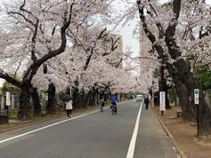 Yanaka Cherry Blossom