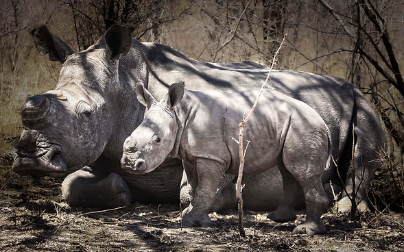 rhino and calf 2.jpg