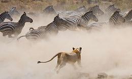 Predators of Kenya.jpg