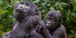 Gorilla%20of%20Uganda%20Dlx_edited.jpg