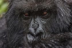 Singita Kataza House Gorilla Trekking.jp
