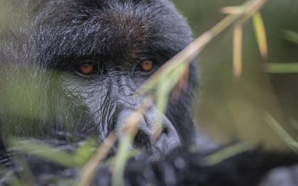 Singita Kataza House Gorilla Trekking_1.