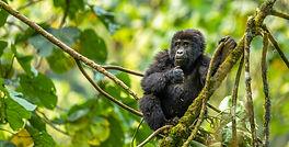 Gorilla Hab and Con.jpg