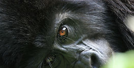 Gorilla of Uganda.jpg