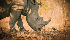 Rhino of Zimbabwe.jpg
