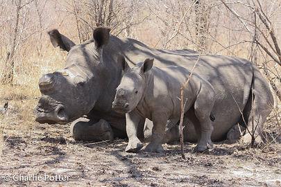 rhino and baby.jpg