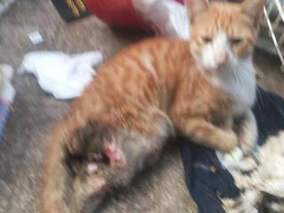 URGENT APPEAL FOR INJURED CAT