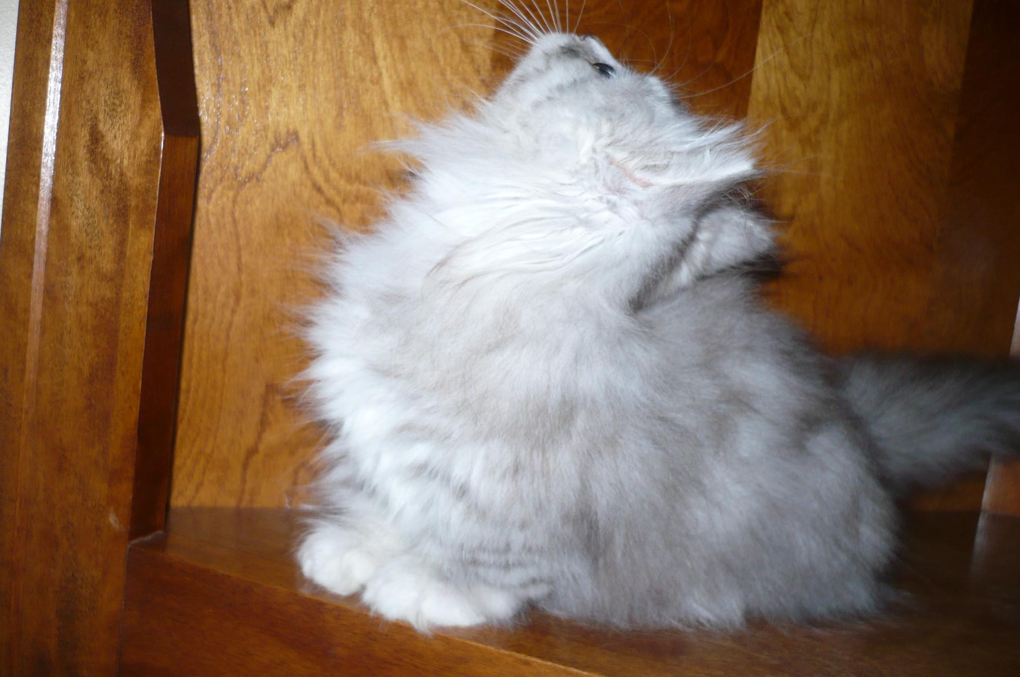 Un Munchkin n'est pas un chat nain. Les chats nains n'existent pas.