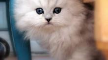 Choisir un chaton