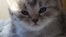 Quel prix doit-on payer pour un chaton ?