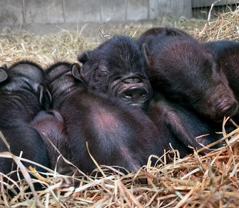 Sleeping American Guinea Hog piglets.jpg