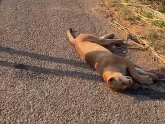 Onça é encontrada morta às margens BR-153 em Jaraguá após atropelamento