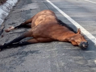 Cavalo morre atropelado na BR-153 em Rialma após colisão com caminhonete