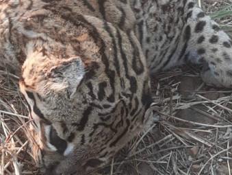 Em menos de 24hs segunda Onça é encontrada morta no município de Jaraguá