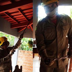 Bombeiros capturam jibóia no telhado de casa em Jaraguá