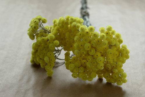 Helichrysum Immortellen