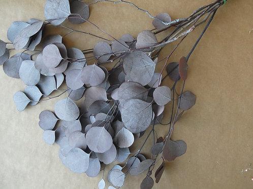 Eukalyptus populus