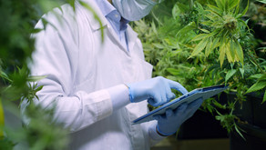 Study finds that cannabis may not negatively impact liver transplant patients
