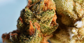Try These β-Caryophyllene Cannabis Strains for Pain & Inflammation Relief