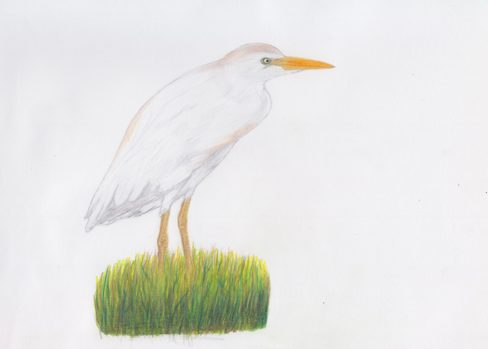 Garza Ganadera Occidental Western Cattle Egret