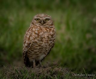 Tecolote Llanero / Burrowing Owl