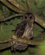 Búho Moteado / Mottled Owl