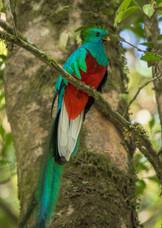 Quetzal Mesoamericano / Resplendent Quetzal