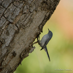 Perlita Azulgris / Blue-grey Gnatcatcher