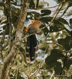 Cuclillo Ardilla / Squirrel Cuckoo