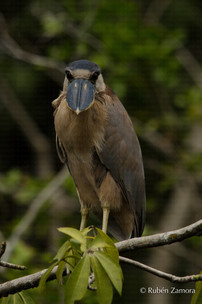 Garza Cucharón / Boat-billed Heron