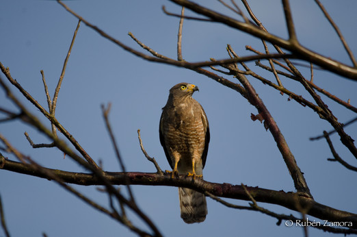 Aguililla Caminera / Roadside Hawk